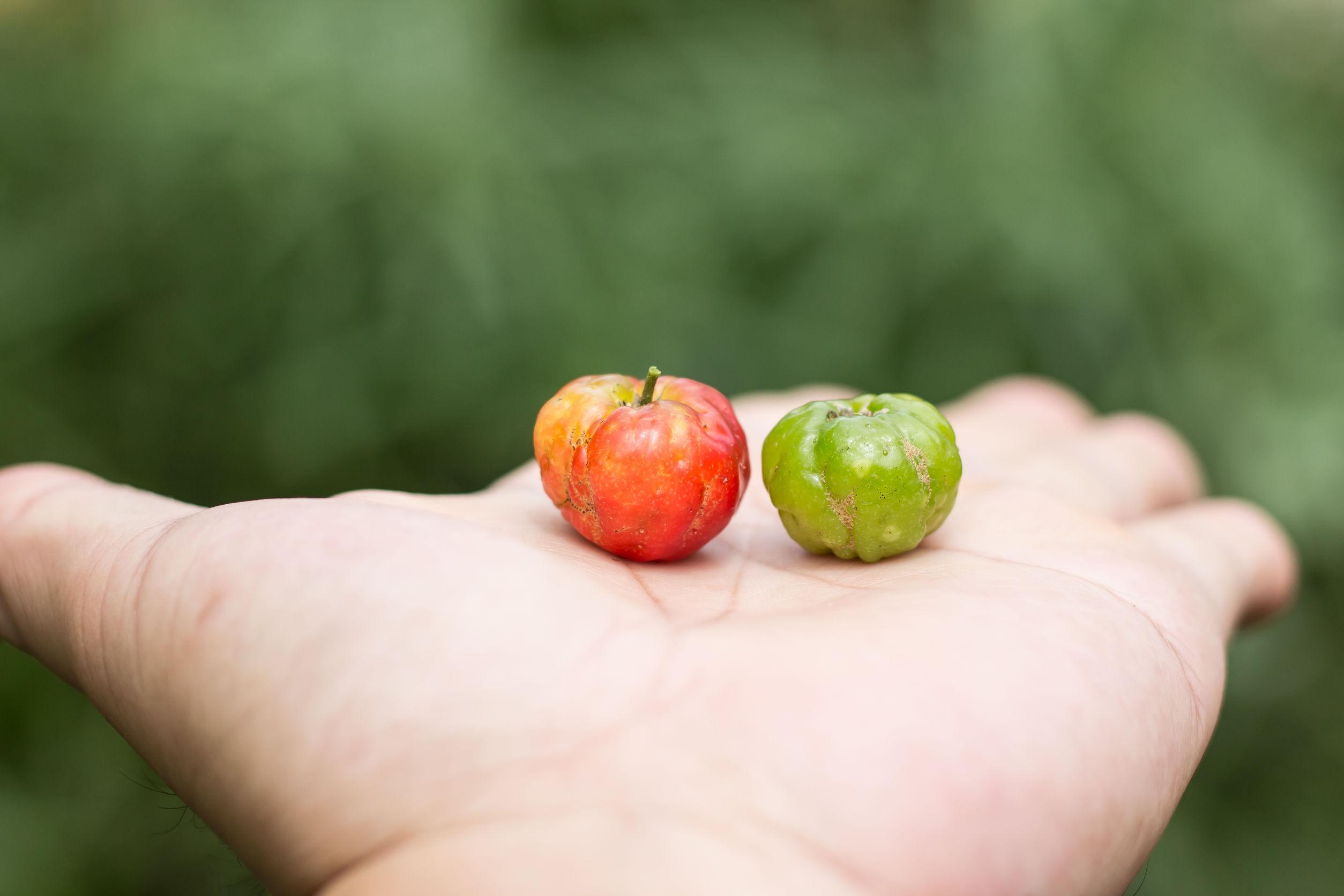 Acerloa blanca y verde en una mano