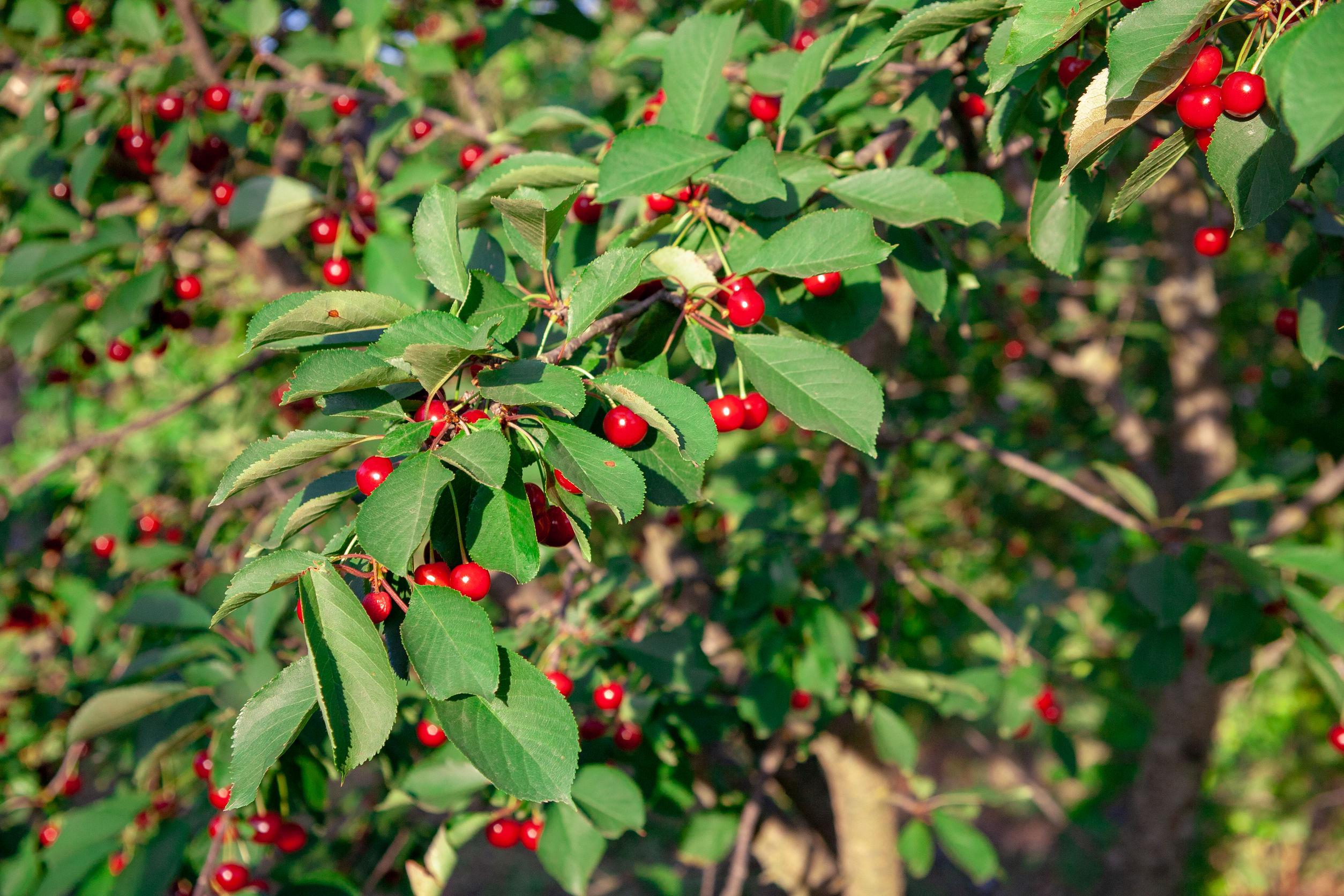 Cereza madura de color rojo brillante en las ramas de Ashinskaya Prunus subg