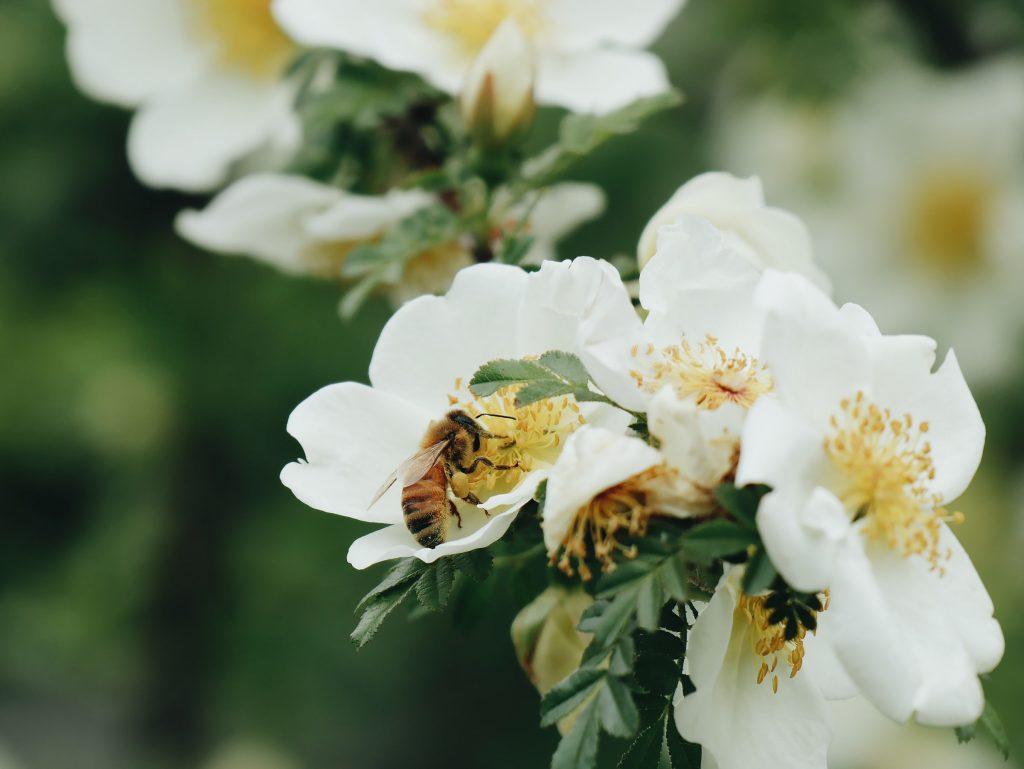 abeja y polen